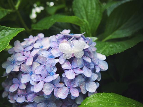 夢幻藍紫色花卉23