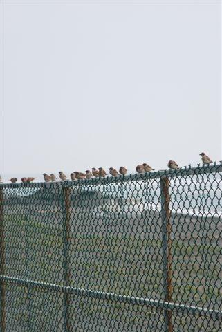 好怪呵!停了一排的麻雀
