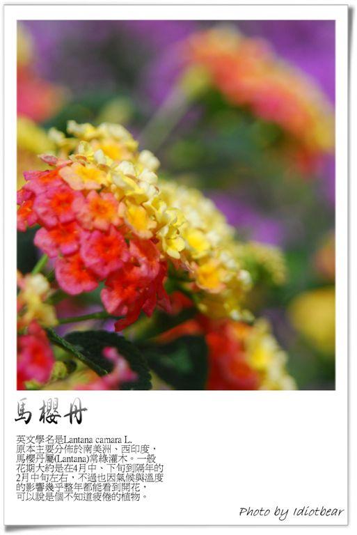 馬櫻丹3.jpg