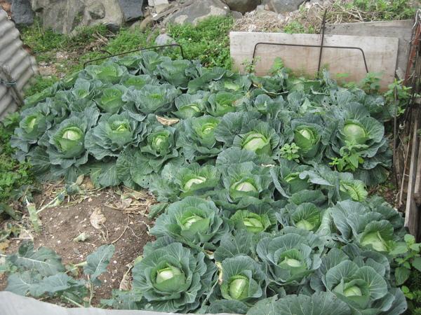 種高麗菜-烏坵