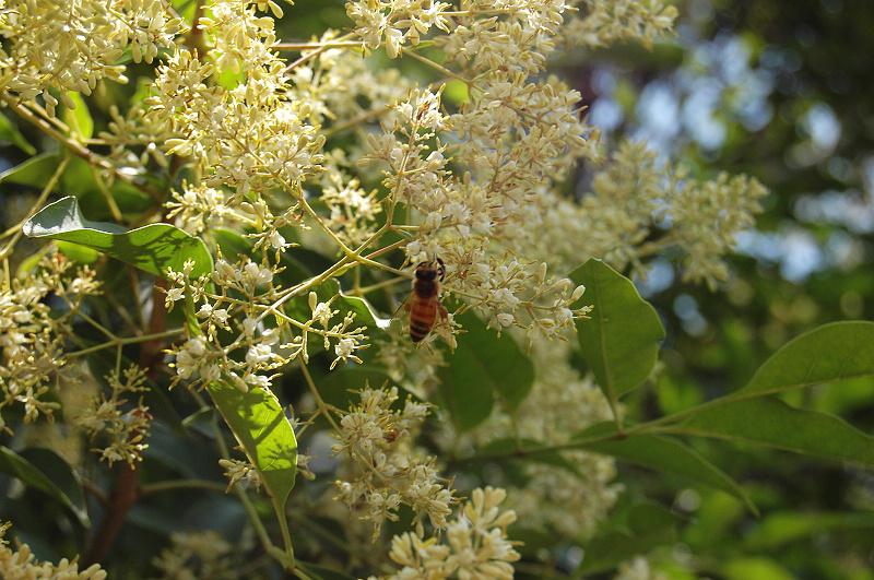 櫸木花-有蜜蜂.jpg