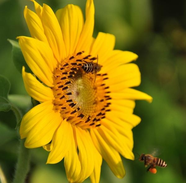 蜜蜂消失配圖.jpg