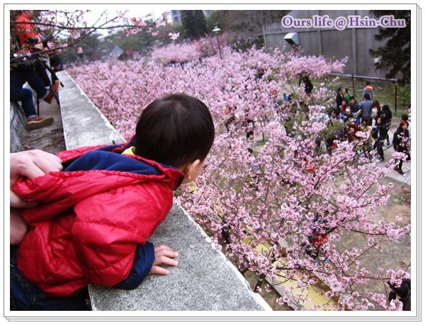 20150215_新竹公園賞櫻 (8).JPG