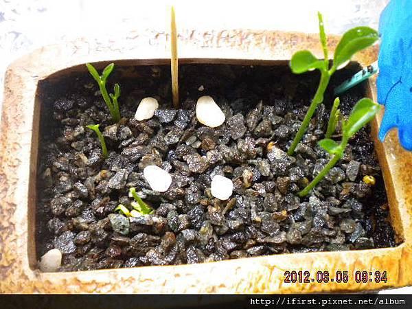 柳丁種植記錄
