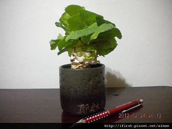 高麗菜心盆栽