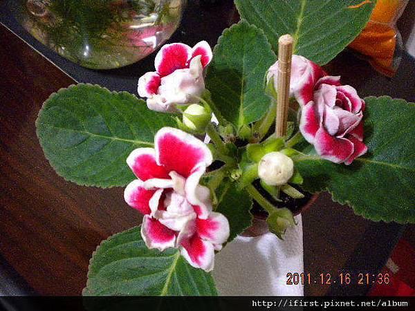 開了5朵花的大岩桐.JPG