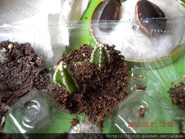 仙女閣換盆所掉下的側芽