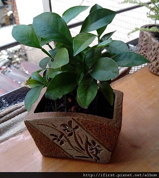 柳丁種子發芽後約十個月