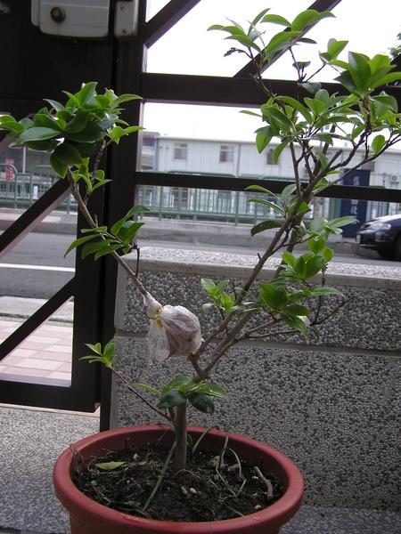 茶花高壓0401-1.JPG