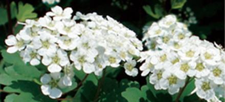 繡線菊.jpg