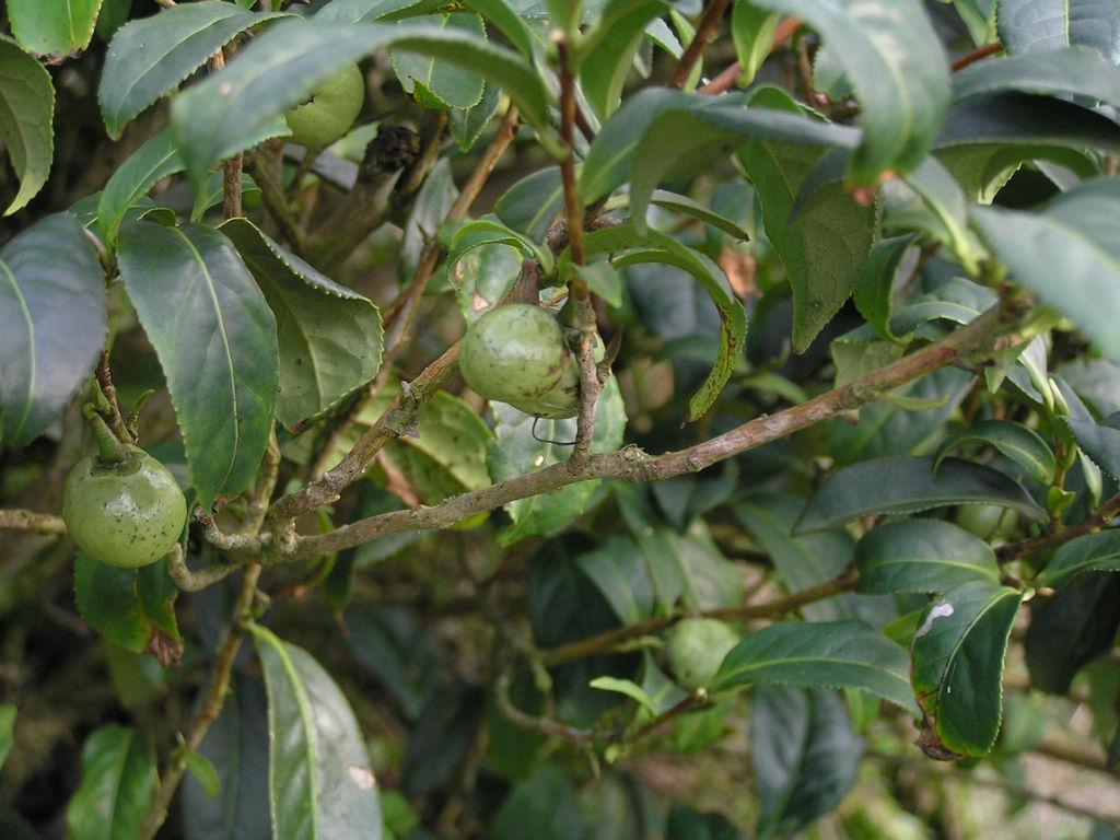 茶樹.jpg