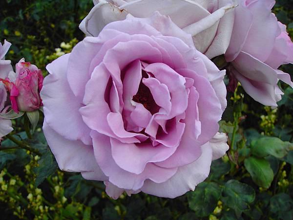 玫瑰花 (10)