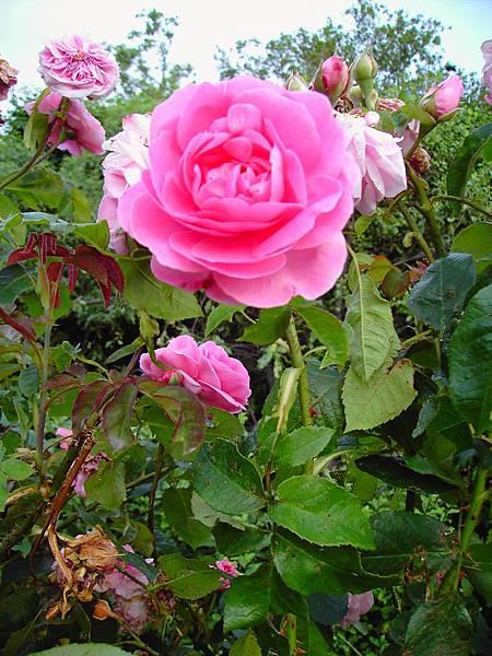 玫瑰花 (1)