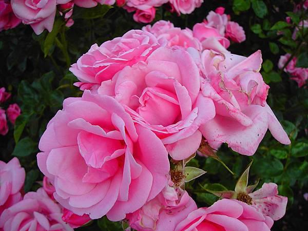 玫瑰花 (2)