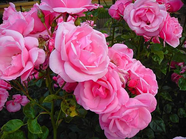 玫瑰花 (3)