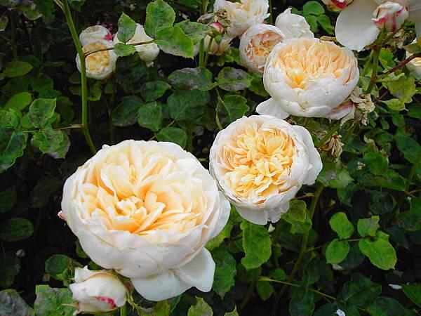 玫瑰花 (4)