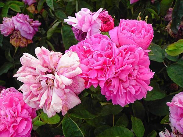 玫瑰花 (5)
