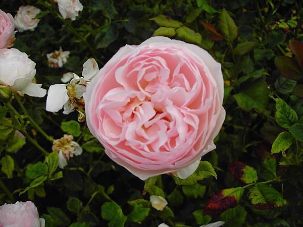 玫瑰花 (7)