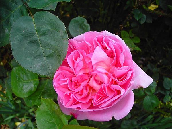玫瑰花 (8)