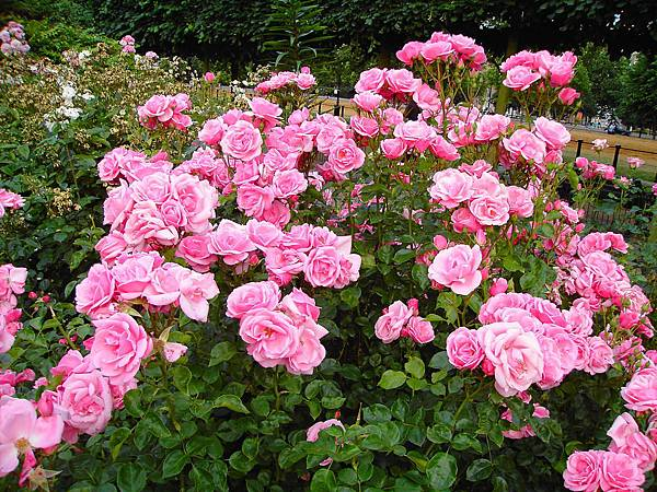 玫瑰花 (9)