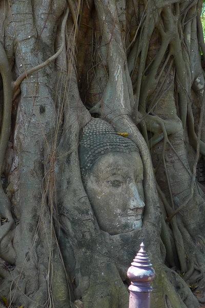 佛頭被菩提樹根包住
