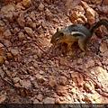 沙漠中的花栗鼠