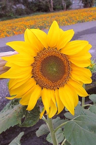 太陽花向日葵