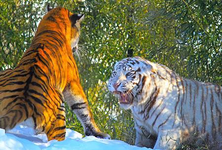 epic_tiger_fight_by_silvervulpine-d4qmv0s