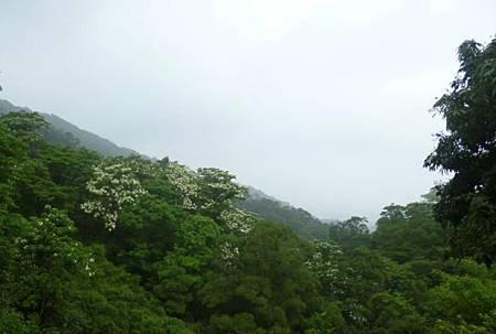 桐花祭07