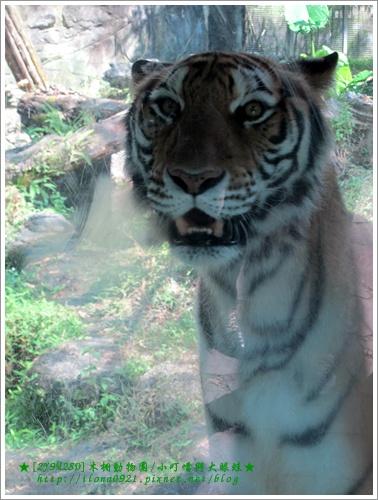 老虎一直在窗前徘徊,是看到窗前站了很多白嫩的小朋友們嗎?!