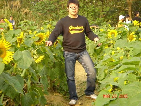 向日葵花海-2