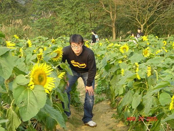向日葵花海-3