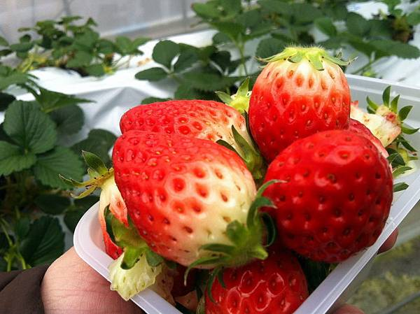 jasuwa_strawberry-11.jpg