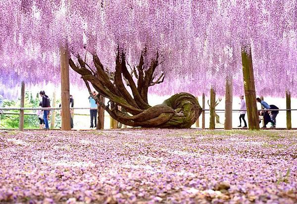 紫藤2 (2).jpg