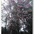 山櫻花~好美.jpg