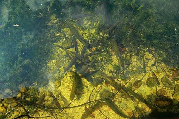 一群魚有馬口.jpg