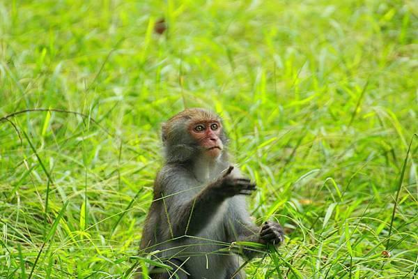 正吃著禾本科植物的小獼猴.jpg