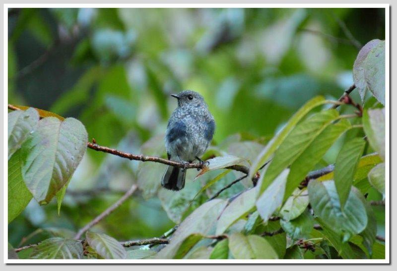 小鉛球亞成母鳥.jpg