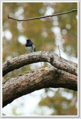 植物園的鵲鴝.jpg