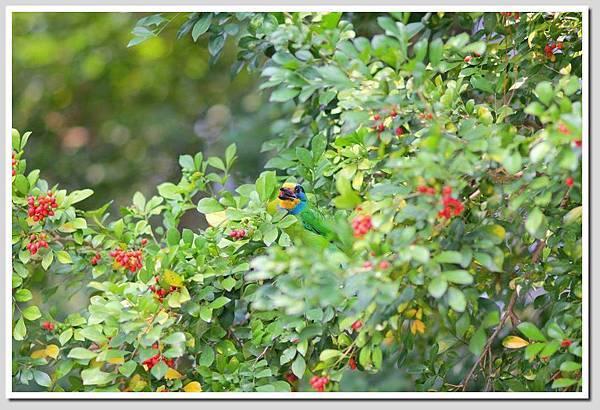 五色鳥1.jpg