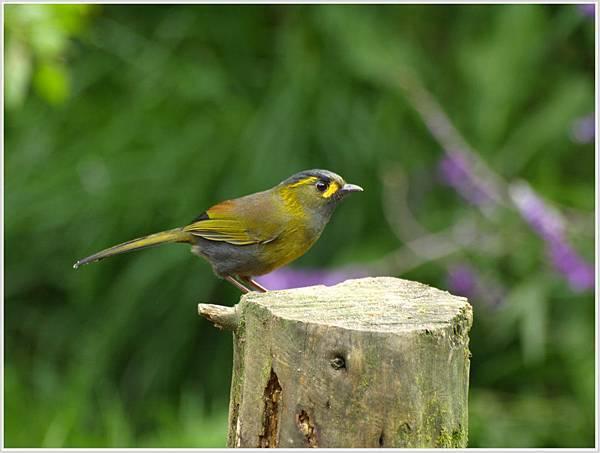 藪鳥.jpg