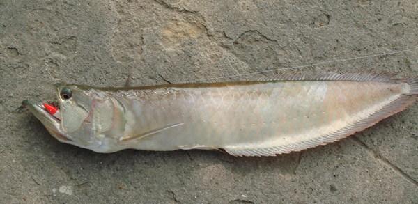 08-05-03 龍魚(嘴巴還含著我的紅頭白身).jpg