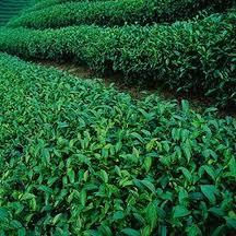 龍鳳峽為杉林溪最高海拔茶區