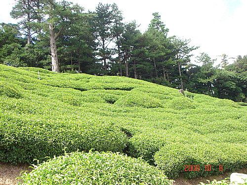 大禹嶺高山茶園