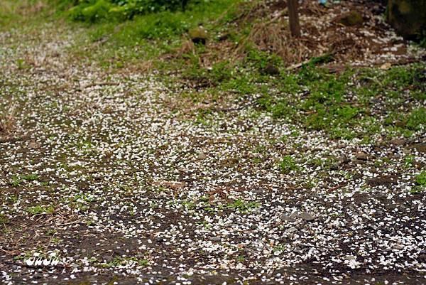 花瓣撒落一地好似踏步雪中