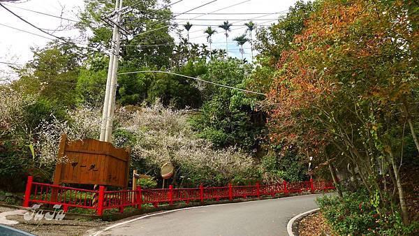 紅楓、白梅、綠樹、紅圍籬..很有年味