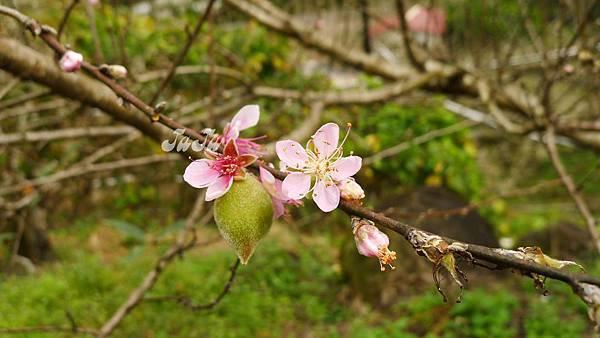 粉色的梅花與青梅