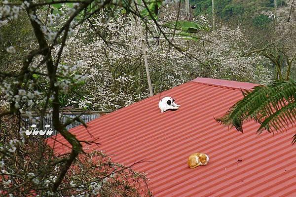 屋頂曬貓咪