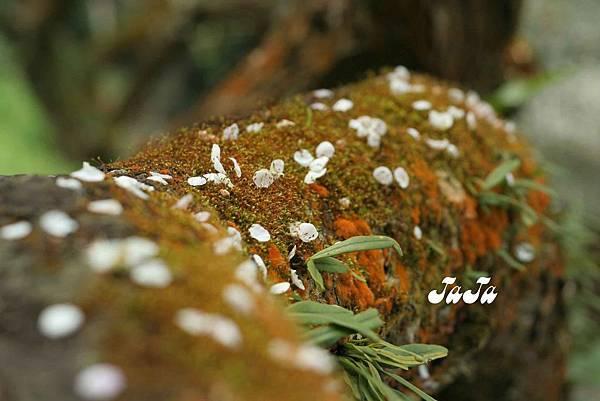 苔癬與梅瓣