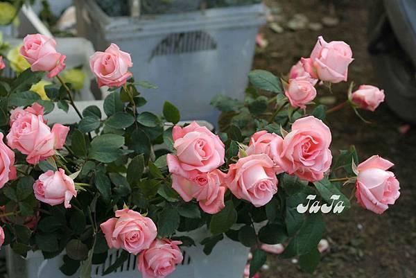 美麗的粉紅玫瑰